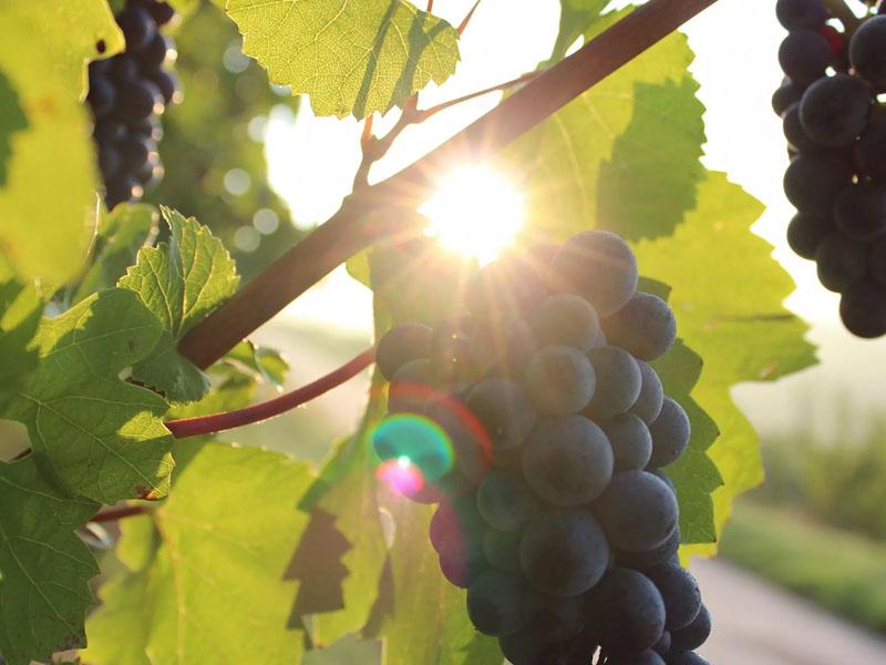 Обрезка винограда летом для начинающих