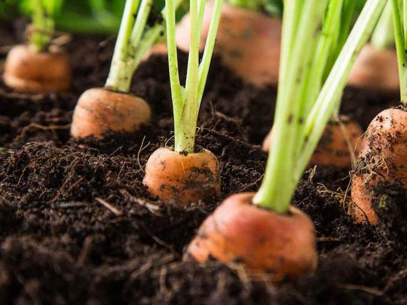 Почему не взошла морковь причины