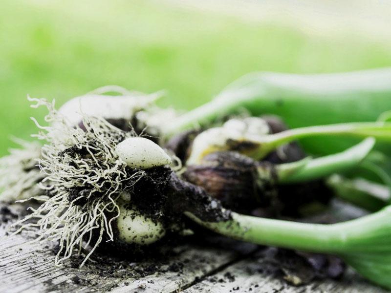 Рекомендуемое выкапывание тюльпанов