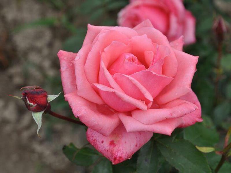 Роза чайно-гибридная: сорта и описание розы Бель Анже