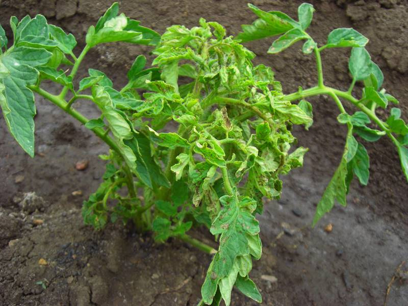 Почему белеют листья у помидор и как бороться с болезнью