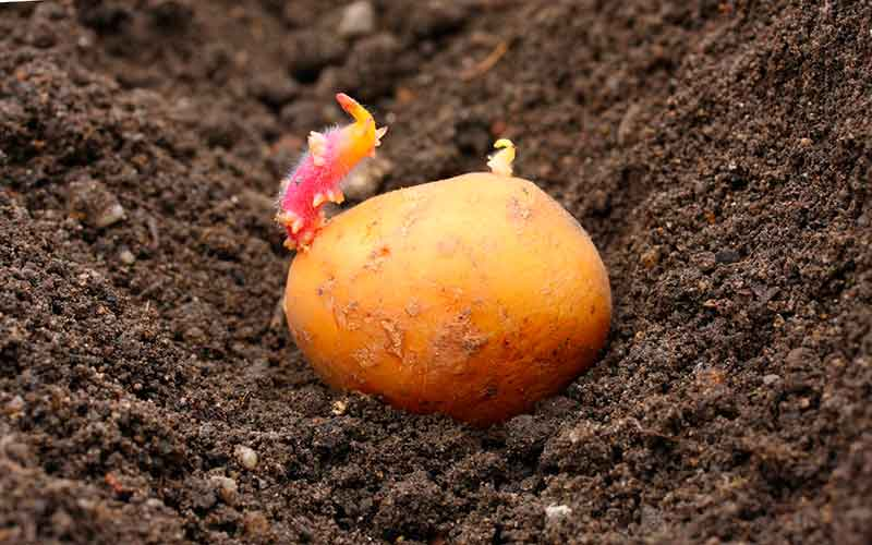 глубина посадки картофеля