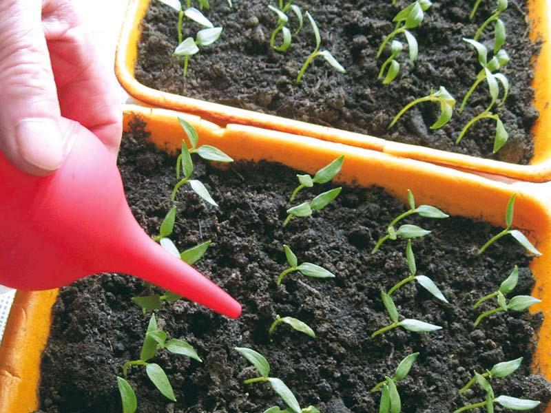 Минеральные подкормки, чтобы рассада помидоров не вытягивалась