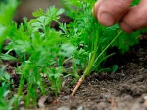 обработать морковь от сорняков керосином