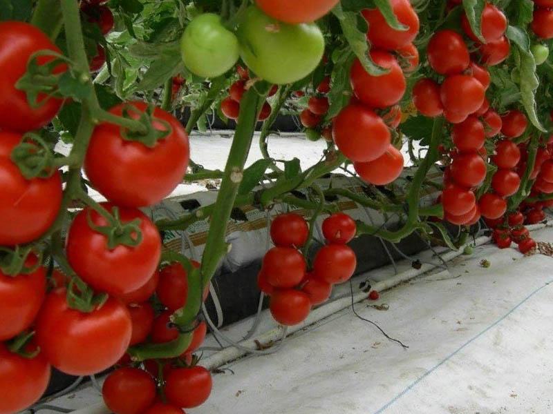 Особенности выращивания тройки