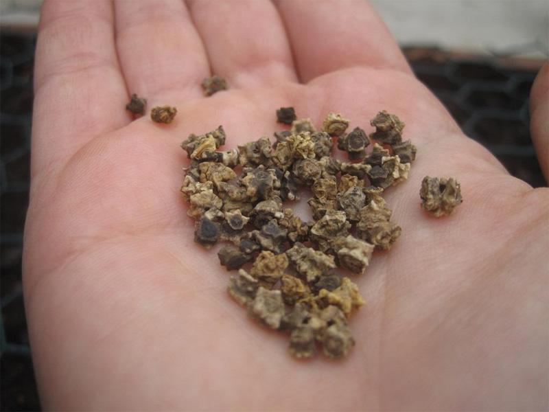 Посадка свеклы семенами в открытый грунт и подготовка семян перед посадкой