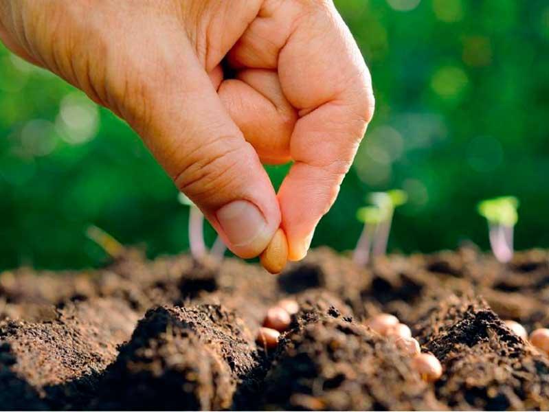 Посадка свеклы семенами
