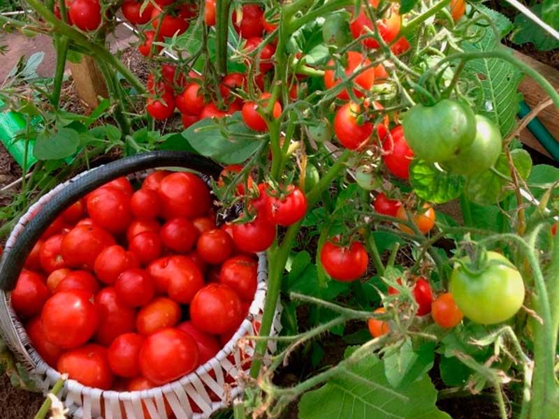 Земляк Сорт томата