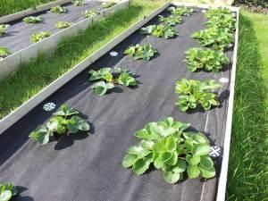 Как посадить клубнику под пленку