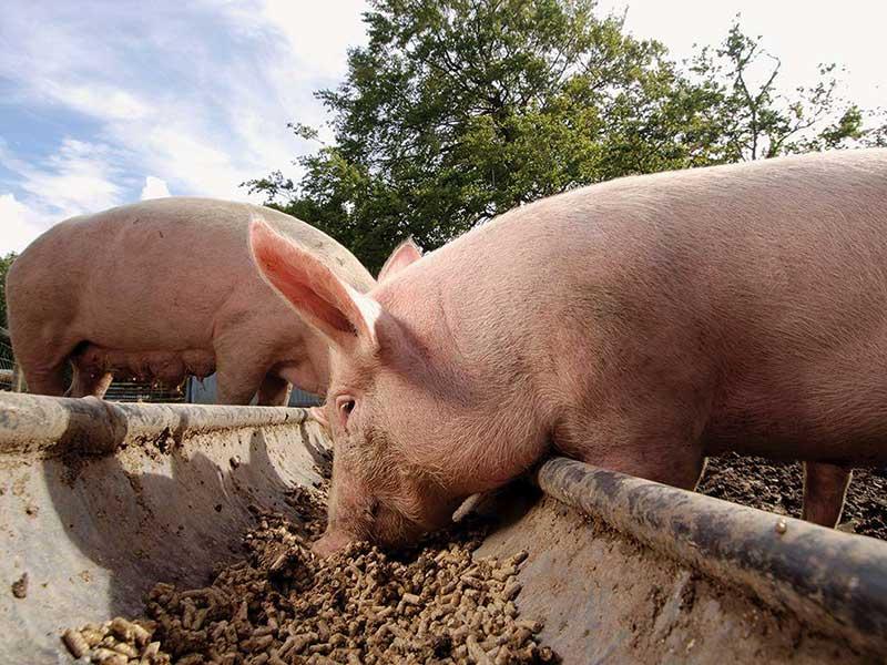 Кормление свиней и свиноматок