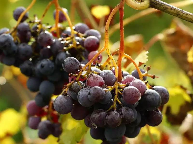 Регулятор роста для винограда
