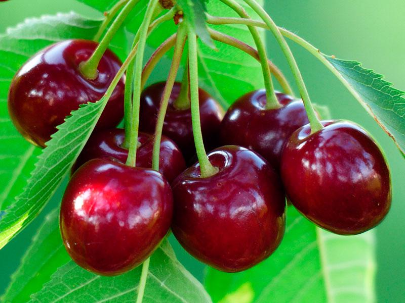 Сорт вишни Вянок
