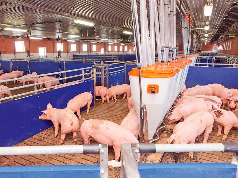 Технология выращивания свиней