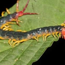 Гигантская сколопендра страшных насекомых