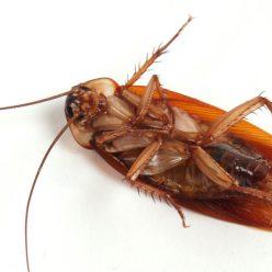 10 необычных фактов о тараканах
