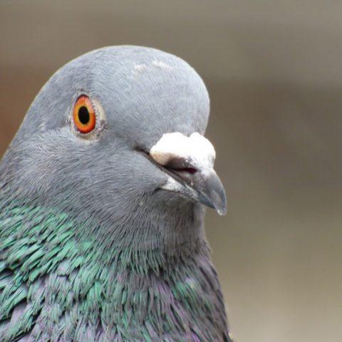 9 фактов о голубях