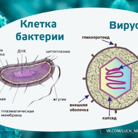 Чем отличаются вирусы от бактерий