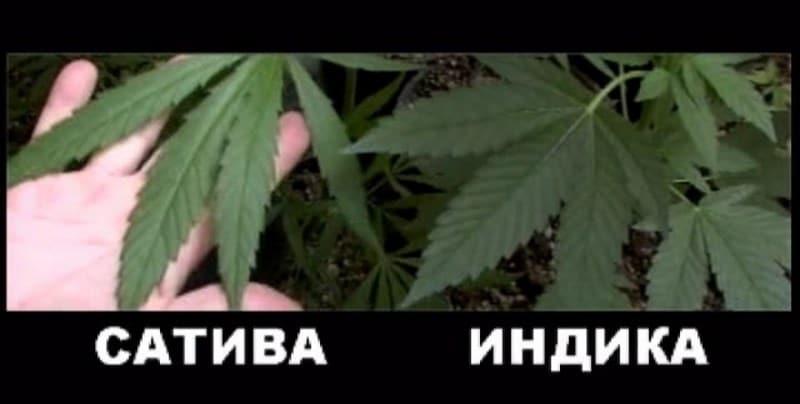 Отличие канопли от марихуаны темы с коноплей для nokia