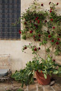 The entrance with roses and cactus. Corsini di San Giuliano residence.