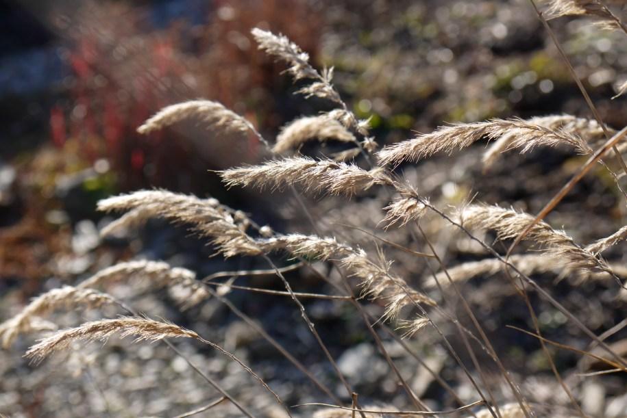 morning light on grasses in my winter garden