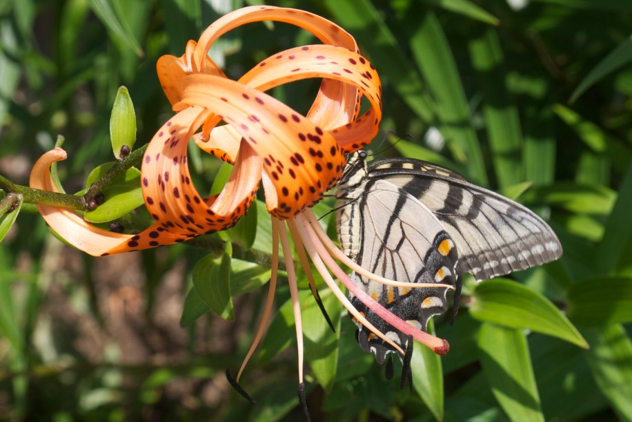 Butterfly on the Tiger Lily