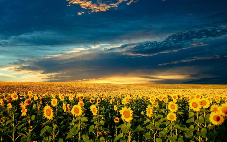 Українські соняшники