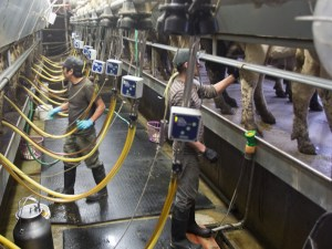 Mexican workers milk cows in the milking parlor of a Vermont dairy farm.