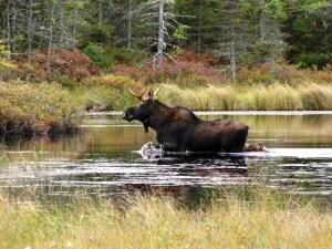 moose, Nulhegan Basin, Silvio O. Conte
