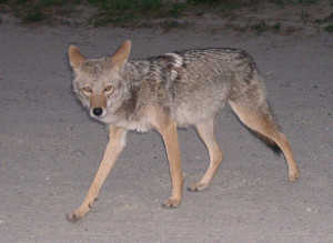 Many deer hunters believe that the decline in the Vermont deer population is directly linked to the presence of coyotes. Stock.xchng photo.