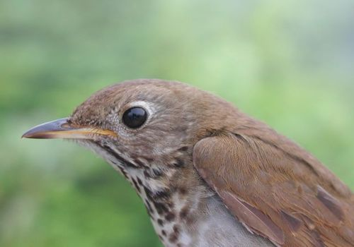 Bicknell's Thrush on East Mountain. Photo by Steve Faccio. Used with permission from the Vermont Center for Ecostudies