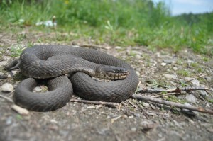 A coiled northern water snake basking in western Rutland County in June. The snake spends much of its time in the water, where it feeds on frogs, small fish and the like. Photo by Jason Plotkin