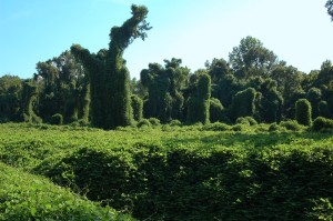 Kudzu in Port Gibson, Mo. Photo courtesy of Galen Smith, Wikimedia Commons