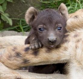 Kleine hyena Diergaarde Blijdorp6