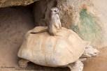 Stokstaartjes met schildpad Diergaarde Blijdorp