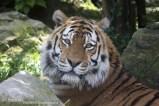 Tijger dierenpark Amersfoort (4)