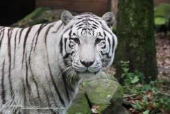 Tijger Ouwehands dierenpark