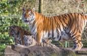 Tijgers Olmense Zoo