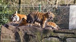 Tijgertjes Olmense Zoo