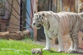 White Tiger Jungle Park