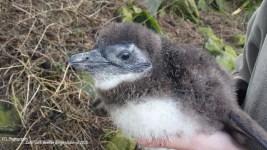 pinguin1-foto