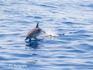 jumping dolphin (2)