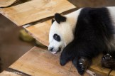 Panda's Ouwehands Dierenpark