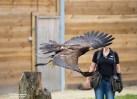 Roofvogel demonstratie Avitorium Landgoed Hoenderdaell