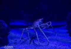 king crab oceanografic