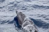 Dolphin Tenerife