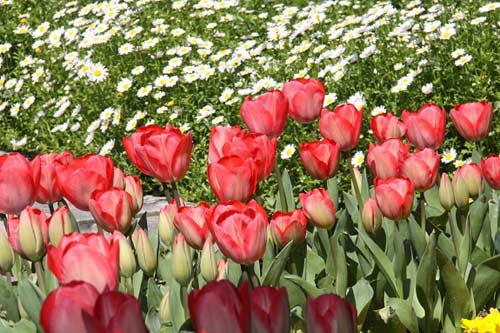 hoa tuplip thổ nhĩ kỳ