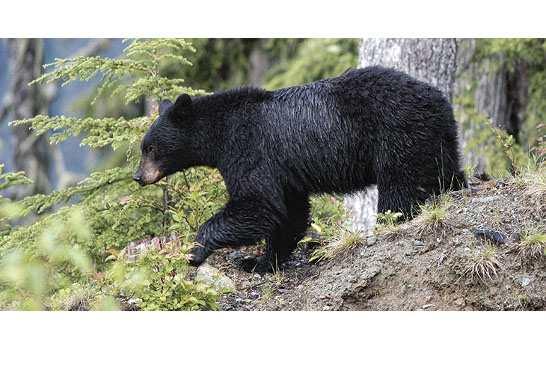 圖:大溫地區近期三日內發生兩次黑熊襲擊人類事件,卑詩省與熊智慧相處組織呼籲民眾在郊外需隨時留意周圍環境,避免遭遇到熊襲。(Bear Smart BC)