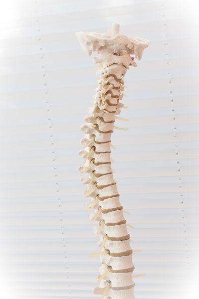 model of bones of spine