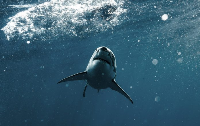A great white shark in the blue ocean swimming near the surface.