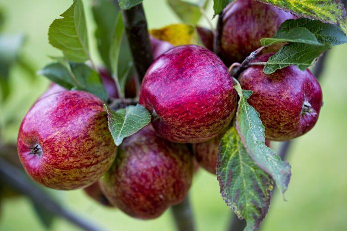 Apple varieties on the brink of extinction are being rescued.